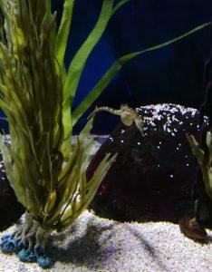 aquarium hypocampe