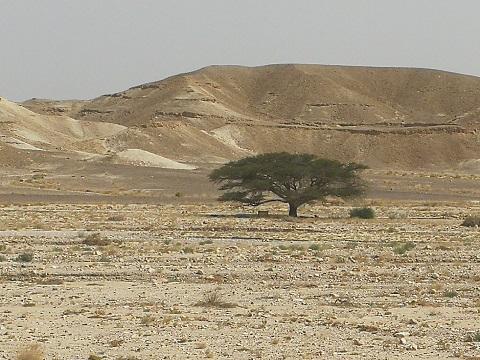 arbre symbole israel